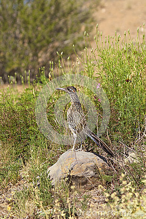 Roadrunner in Desert