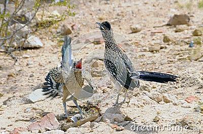 Roadrunner Mating Dance