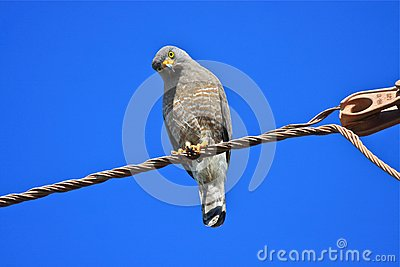 Roadside Hawk Perched on a Wire