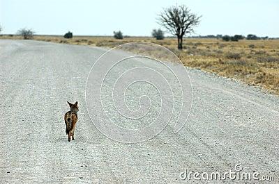 Roadtrip of a jackal