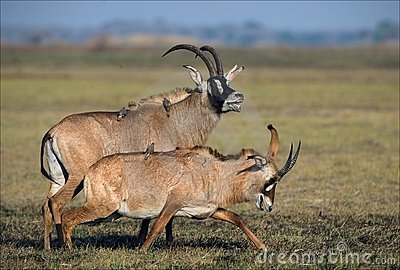 The Roan Antelope.