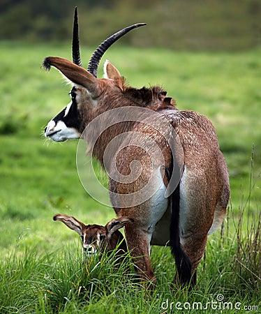Roan Antelope Baby