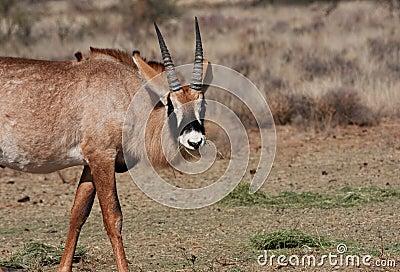 Roan antelope feeding