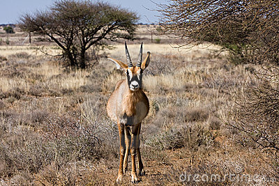 Roan antelope front