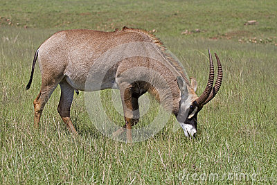 Roan antelope grazing in green grassland