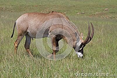 Roan antelope grazing in green grassland