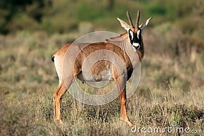 roan antelope stock photo   image 43748763