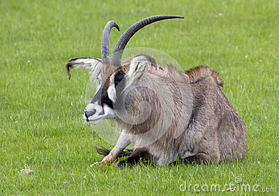 Roan Antelope sitting in a field