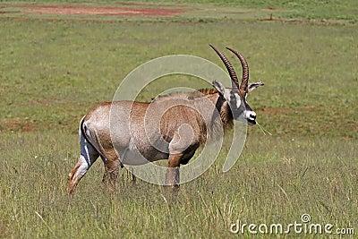 Roan antelope standing in green grassland
