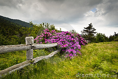 Roan Mountain State Park Rhododendron Flower Bloom