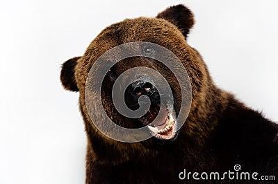 Roared bear
