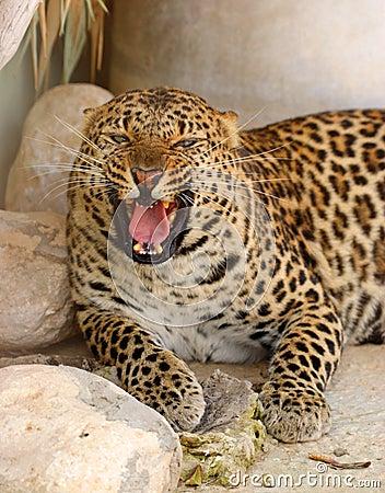 Roaring leopard