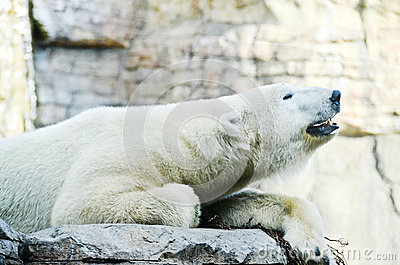Roaring Polar Bear
