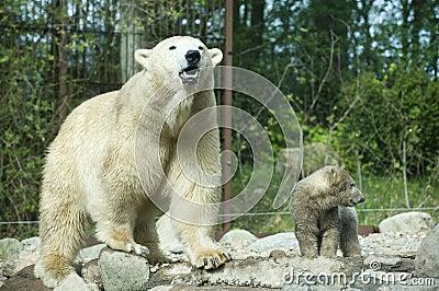 Roaring polar bear with cub (captive)