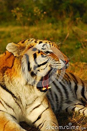 Roaring Siberian tiger