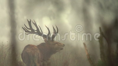 Roaring stag. Red deer stag roaring during the New Zealand rutting season