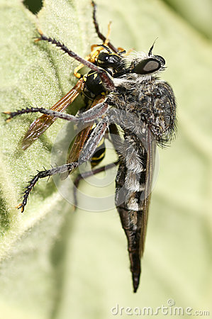 Free Robber Fly And A Victim Stock Photos - 55699713