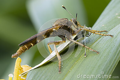 Robber fly with cabbage butterfly