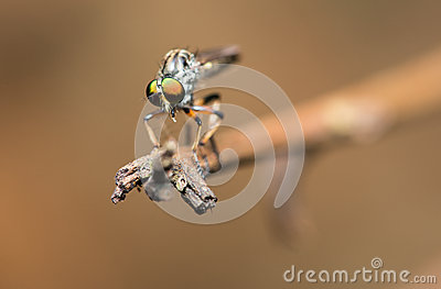 Robber Fly on The Edge