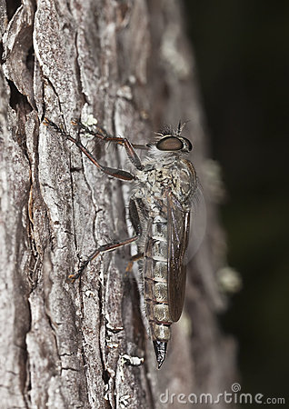 Robber fly. Extreme close-up.