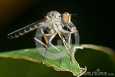 Robber fly with food