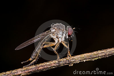 A robber fly with rain drops/ dew drops