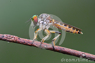 Robberfly in the parks