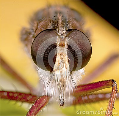 Robberfly portrait
