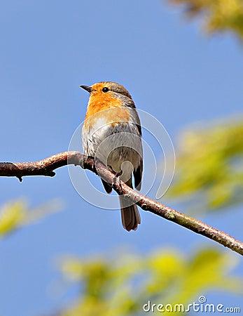 ο βρετανικός Robin