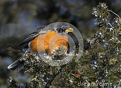 美国人Robin (画眉类migratirius)