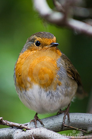 Free Robin Stock Images - 4770384