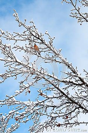 Robin around snow time