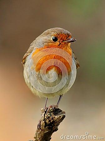 Free Robin Bird Royalty Free Stock Photos - 7823548