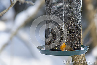 Robin at a bird feeding