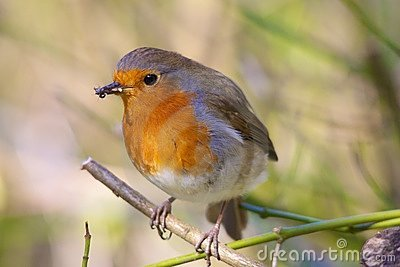 Robin Eating Insects