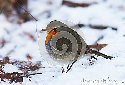 Robin / Erithacus rubecula