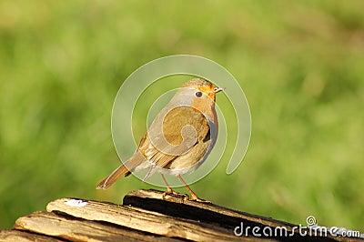 Robin on Log