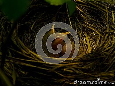 Robin nest