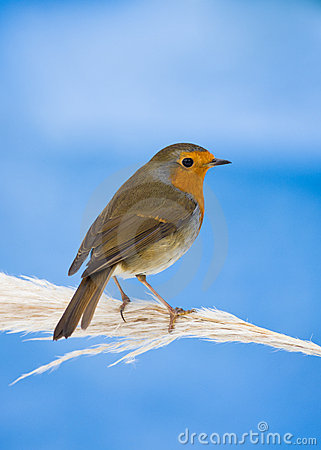 Robin on Pampas Grass