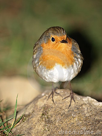 Robin Red Breast Chick