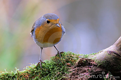 A robin redbreast sitting on bough