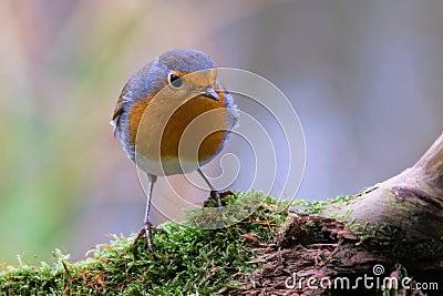 A robin redbreast sitting on bough