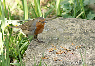 Robin on a rock with lunch