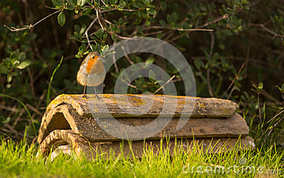 Robin on roof tiles