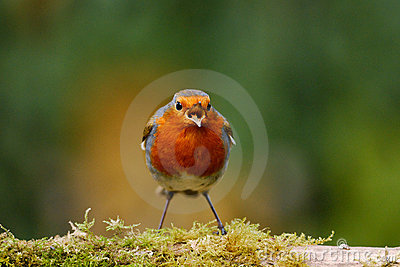 Robin singing on a mossy log