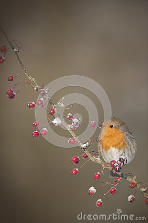 A Robin on a snow covered branch with Red Berries