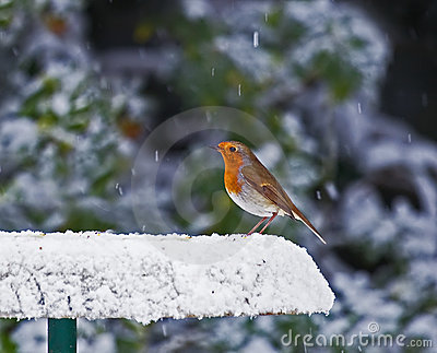 Robin on snowy feeder