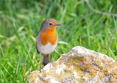 Robin standing on rock