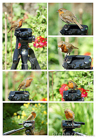 Robin on tripod collage