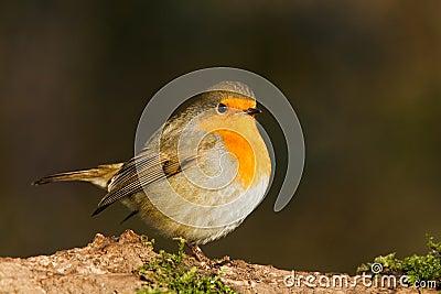 Robin on a twig